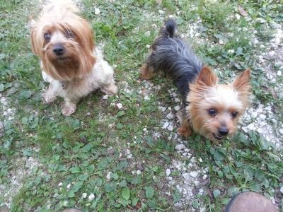 My Yorkie dogs